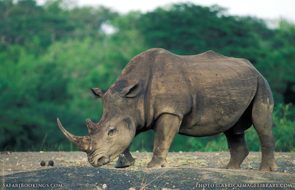 Hluhluwe South Africa  city pictures gallery : White rhino in Hluhluwe Umfolozi Game Reserve, South Africa