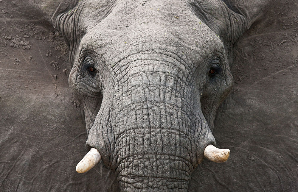 Image result for elephant, face on, photos