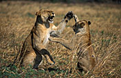 6-Day Drive-in Fly-out Northern Tanzania Wildlife Safari