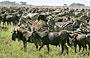 7-Day Journey of the Wildebeest