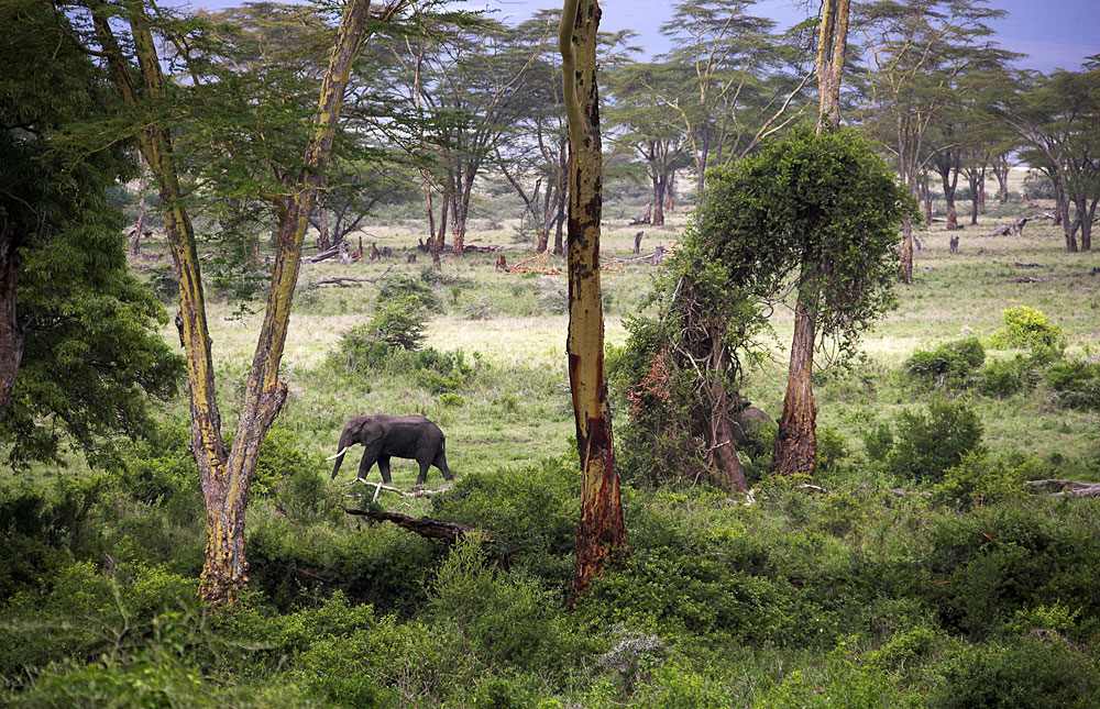 Elephant in a forested area in Ngorongoro Conservation Area, Tanzania