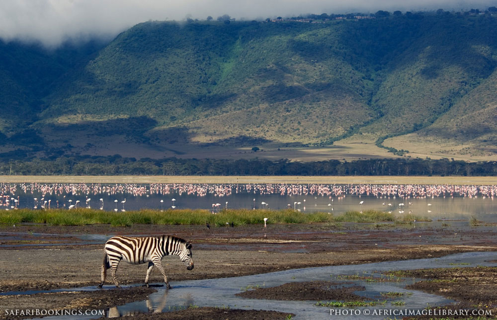 Zebra and flamingos drinking in the crater in Ngorongoro Conservation Area, Tanzania