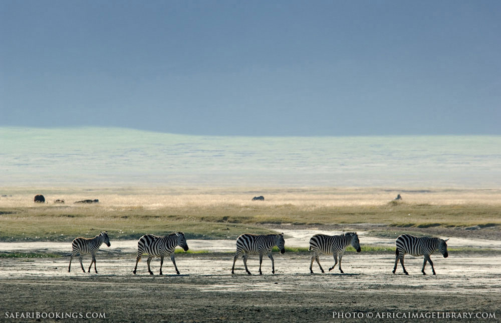 Zebras walking across salt flats in the crater in Ngorongoro Conservation Area, Tanzania