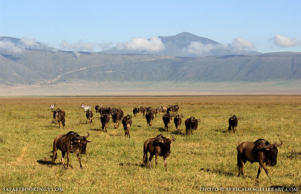 Blue wildebeest cross the field in Ngorongoro Conservation Area, Tanzania
