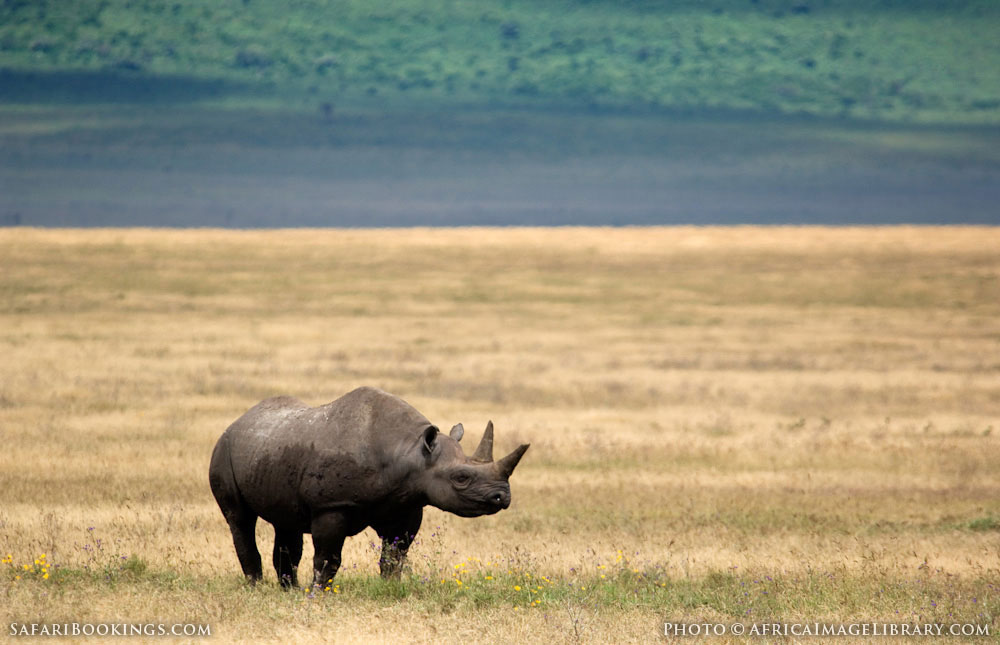 Black rhinoceros standing alone in Ngorongoro Conservation Area, Tanzania