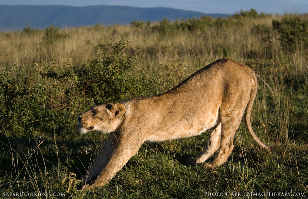 Lion stretching in Ngorongoro Conservation Area, Tanzania