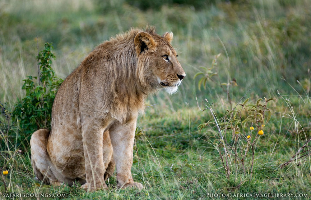 Male lion sitting in Ngorongoro Conservation Area, Tanzania