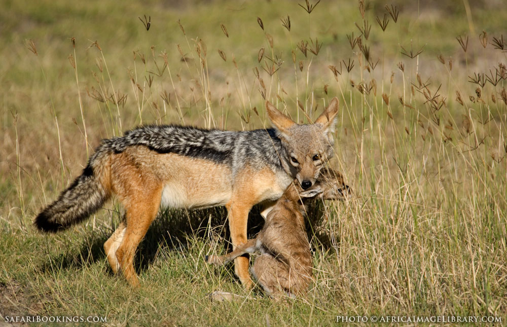 Black-backed jackal with a Thomson's gazelle kill in Ngorongoro Conservation Area, Tanzania