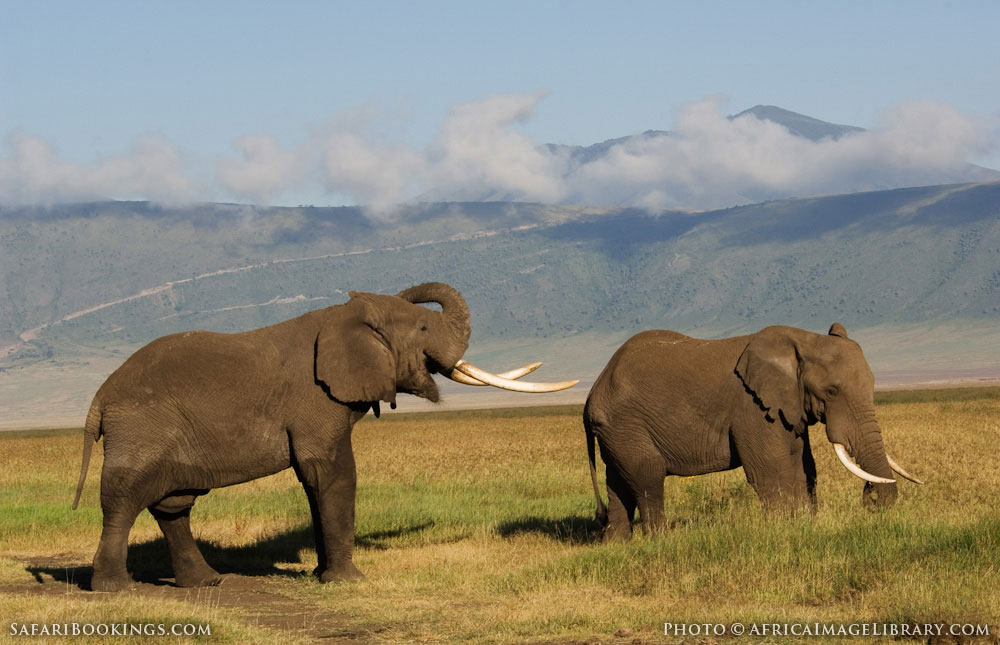 Elephants communicating in Ngorongoro Conservation Area, Tanzania