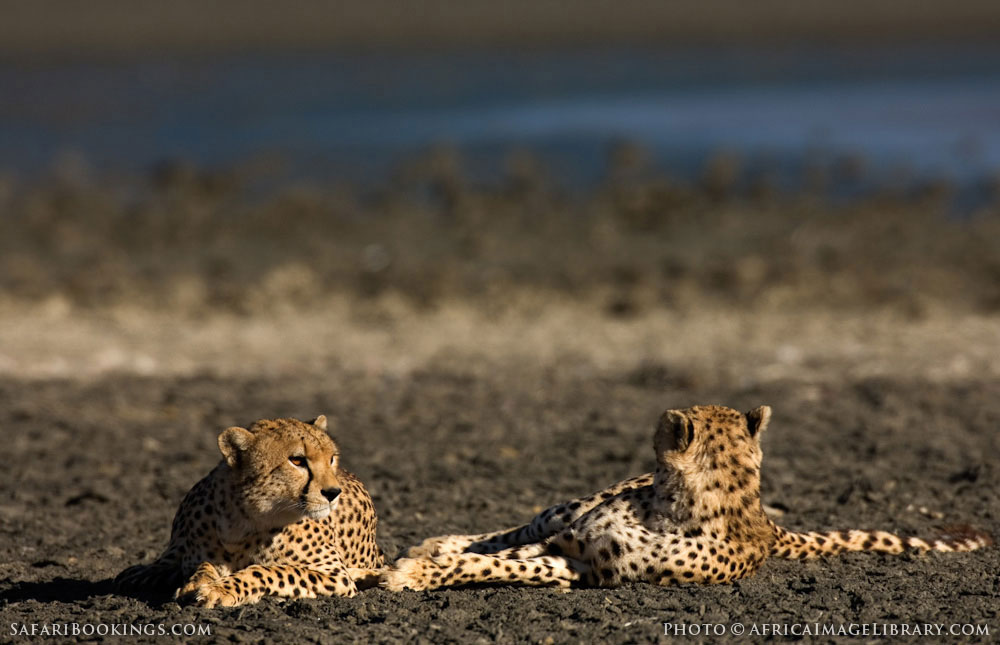 Cheetahs resting in Ngorongoro Conservation Area, Tanzania