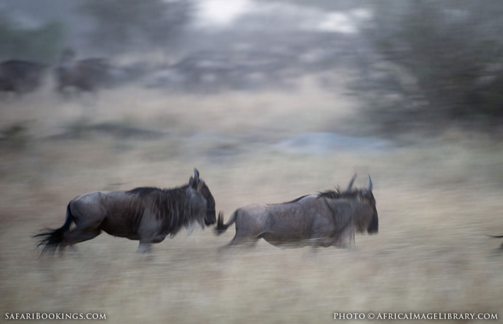 Running blue wildebeest in Serengeti National Park, Tanzania