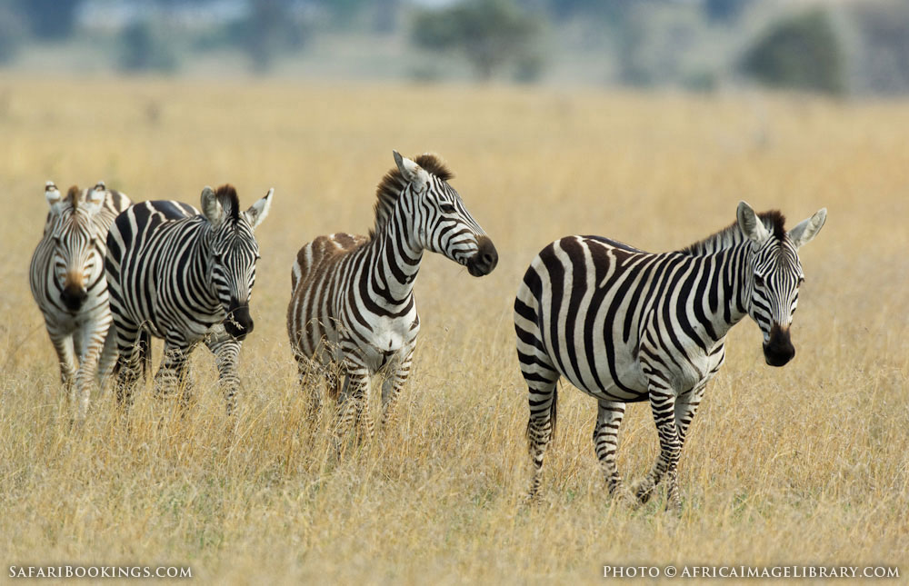 Four Burchell's zebra in Serengeti National Park, Tanzania