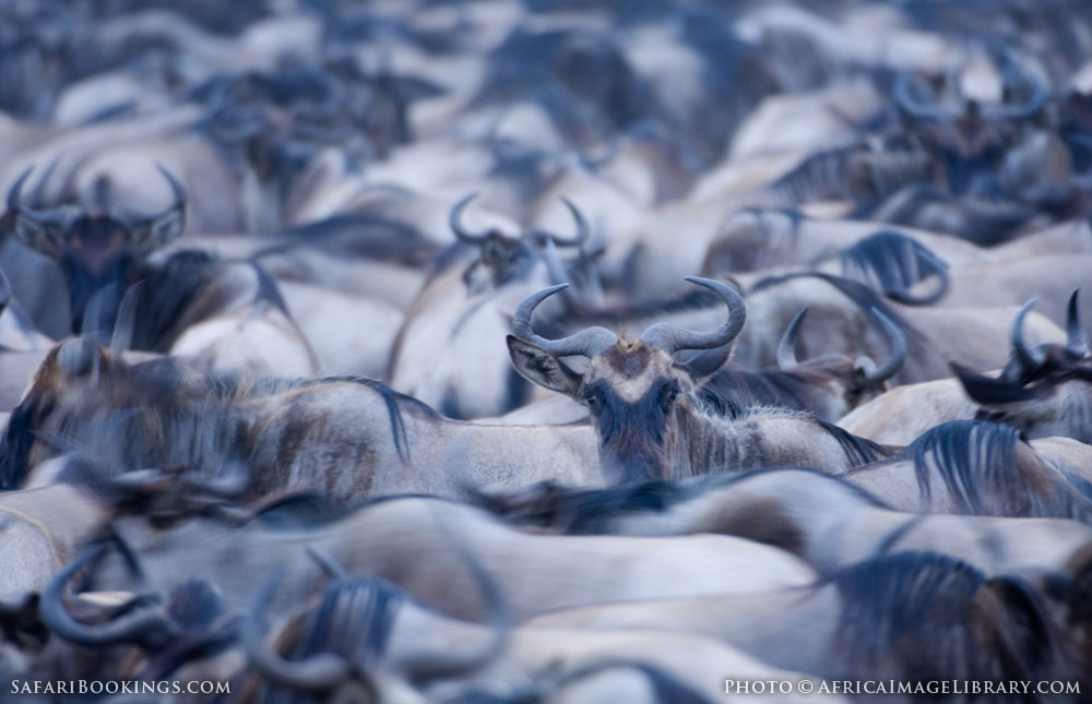 Blue wildebeest packed together in the annual wildebeest migration in Serengeti National Park, Tanzania