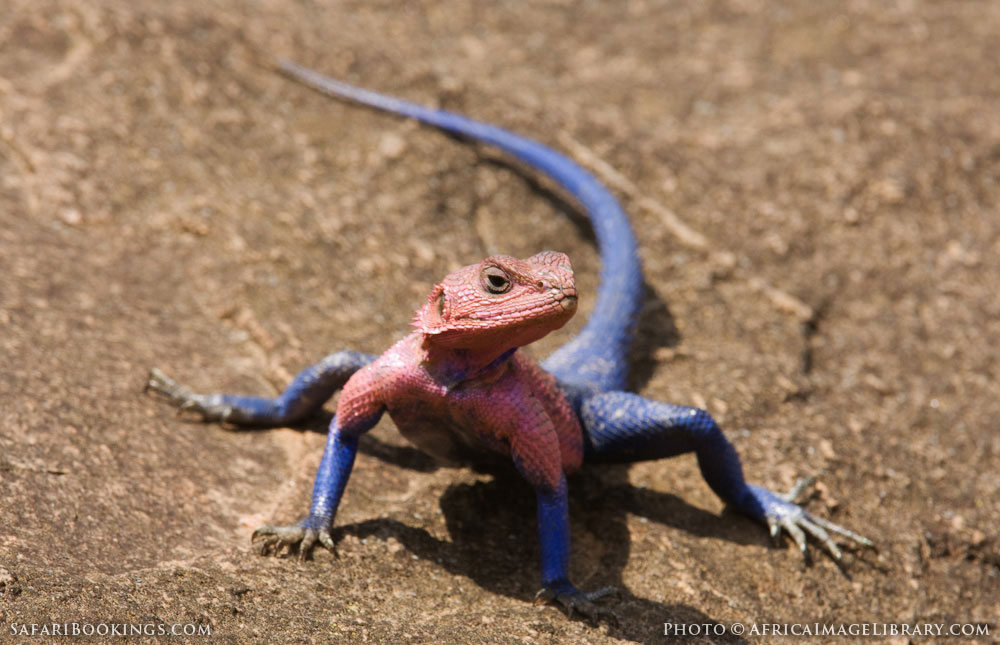 Flat-headed rock agama in Serengeti National Park, Tanzania