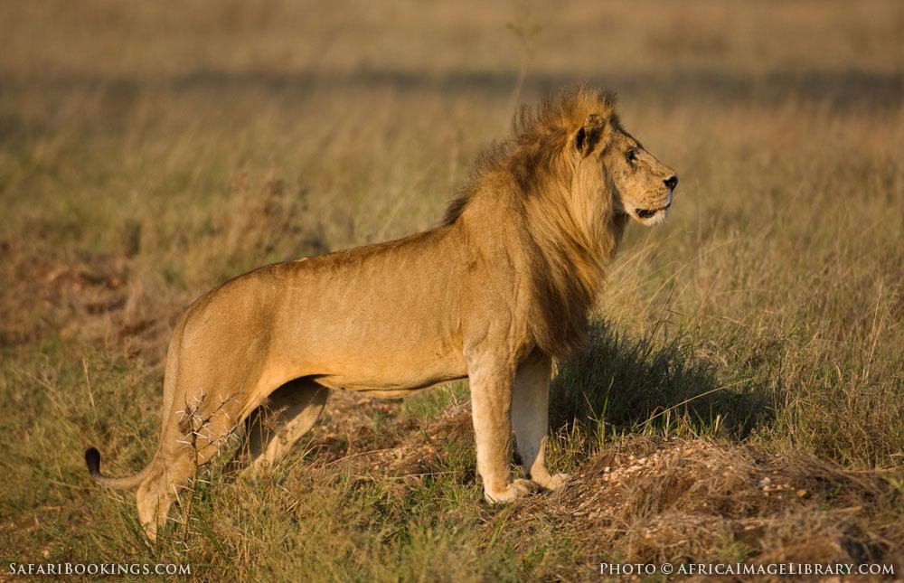 Male lion in Serengeti National Park, Tanzania