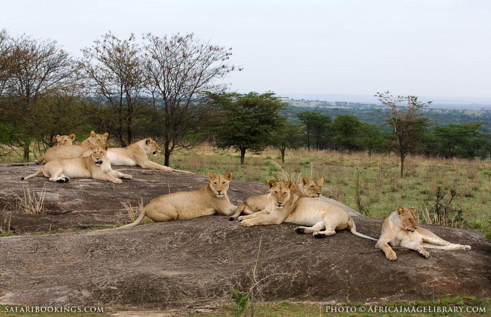 Lion pride in Serengeti National Park, Tanzania