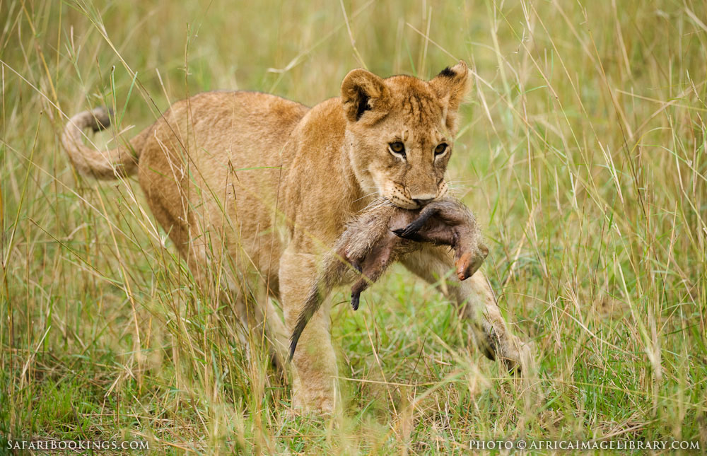 Lion cub with a banded mongoose kill in Serengeti National Park, Tanzania