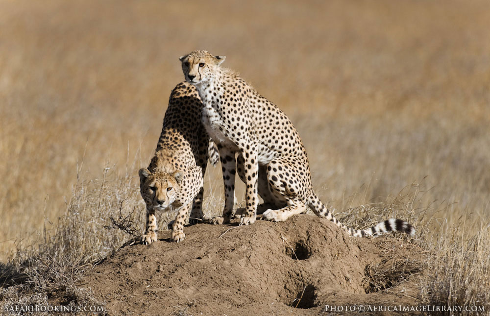 Cheetahs on a dirt mound in Serengeti National Park, Tanzania