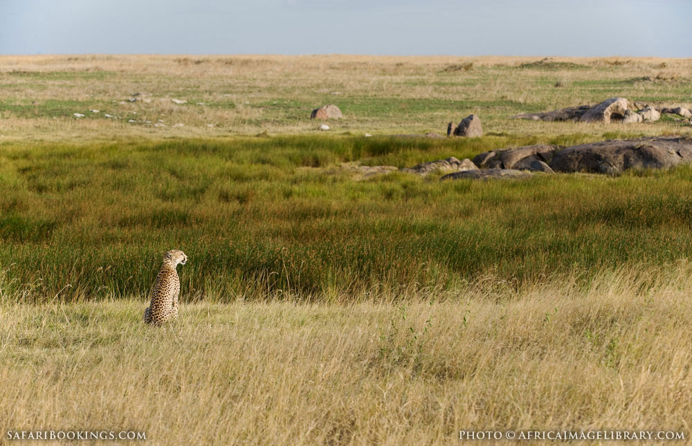 Cheetah overlooking the landscape in Serengeti National Park, Tanzania