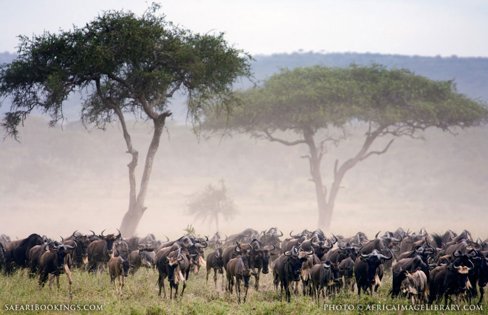 Migrating wildebeest kicking up dust in Serengeti National Park, Tanzania