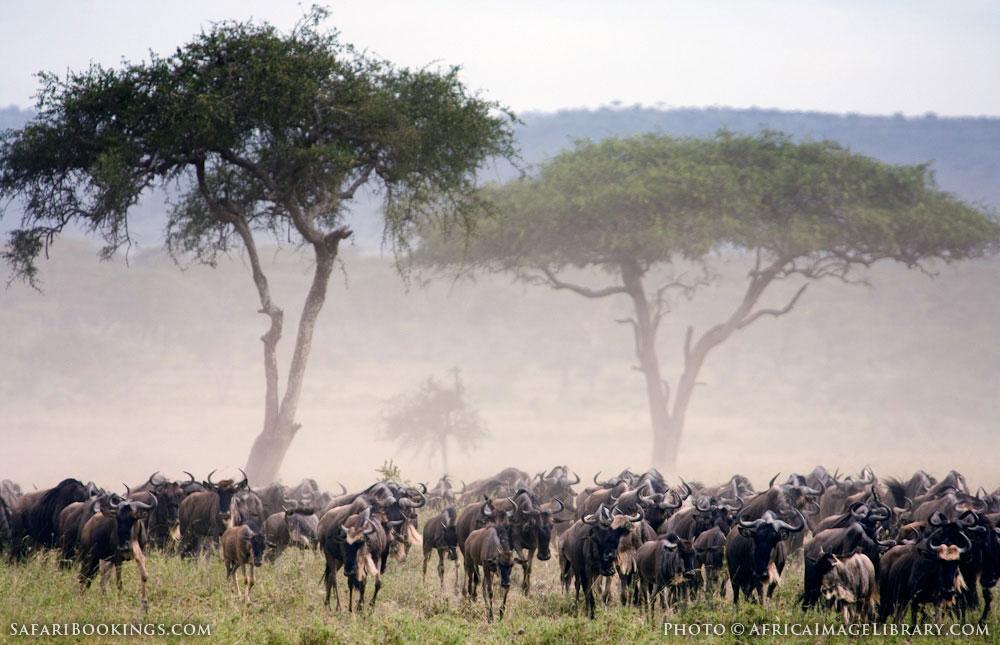 Migrating wildebeest kicking up dust in Serengeti National Park, Tanzania
