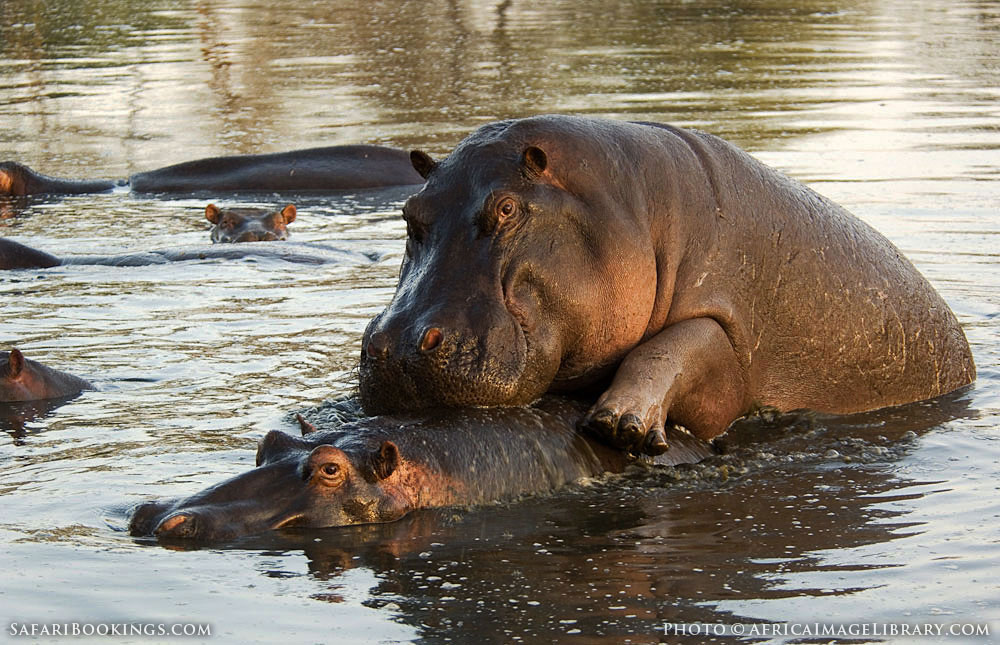 Hippopotamus mating in Serengeti National Park, Tanzania