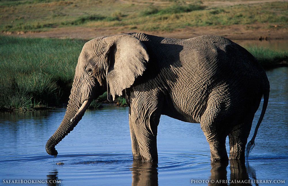 Savanna elephant drinking in Serengeti National Park, Tanzania