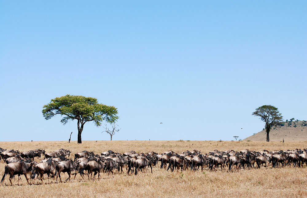 Wildebeest during the great migration in Serengeti National Park, Tanzania