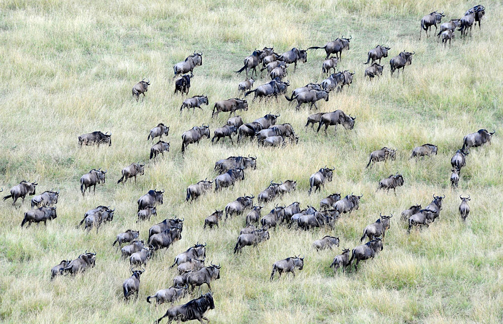 Aerial shot of wildebeest during the great migration in Serengeti National Park, Tanzania