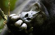 6-Day Gorillas, Chimps & Lions Safari