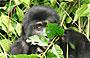 3-Day Bwindi Gorilla Safari-Exclusive Offer