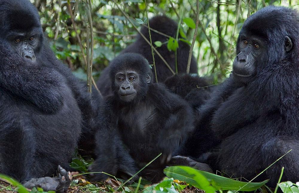 Gorilla en la niebla online dating 8