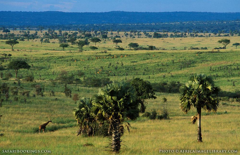 Giraffe walking on grassland with borassus palms in Murchison Falls National Park, Uganda