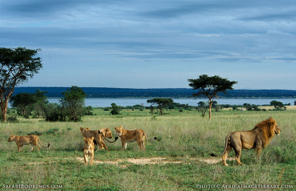 Lions at the Nile River in Murchison Falls National Park, Uganda