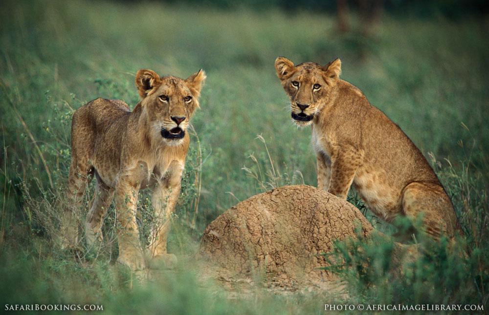 Lion cubs in Murchison Falls National Park, Uganda