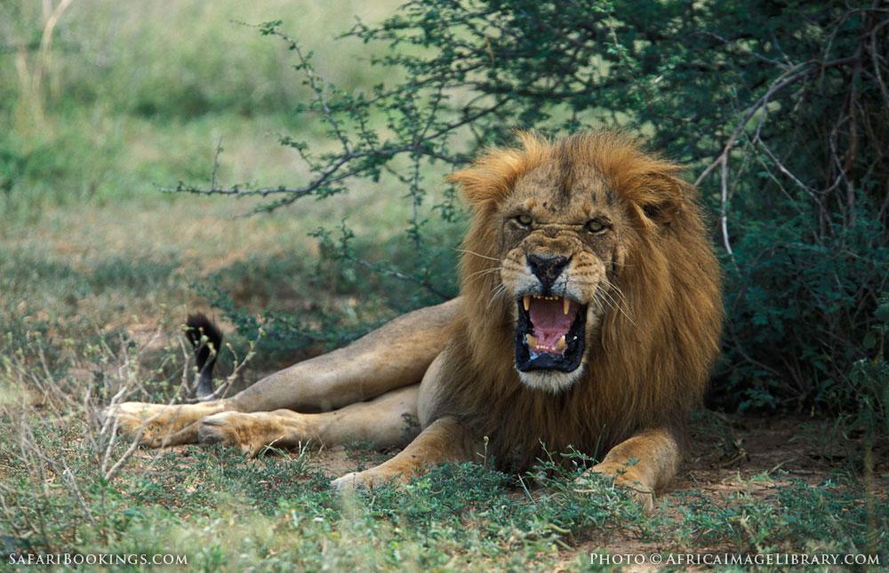 Male lion growling in Murchison Falls National Park, Uganda