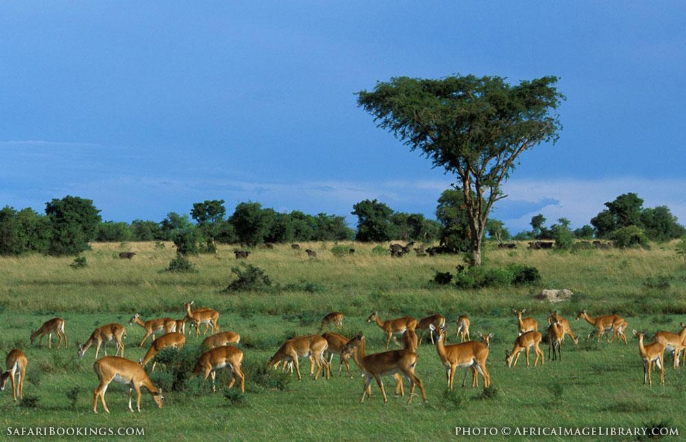 Breeding herd of Ugandan kob in Murchison Falls National Park, Uganda