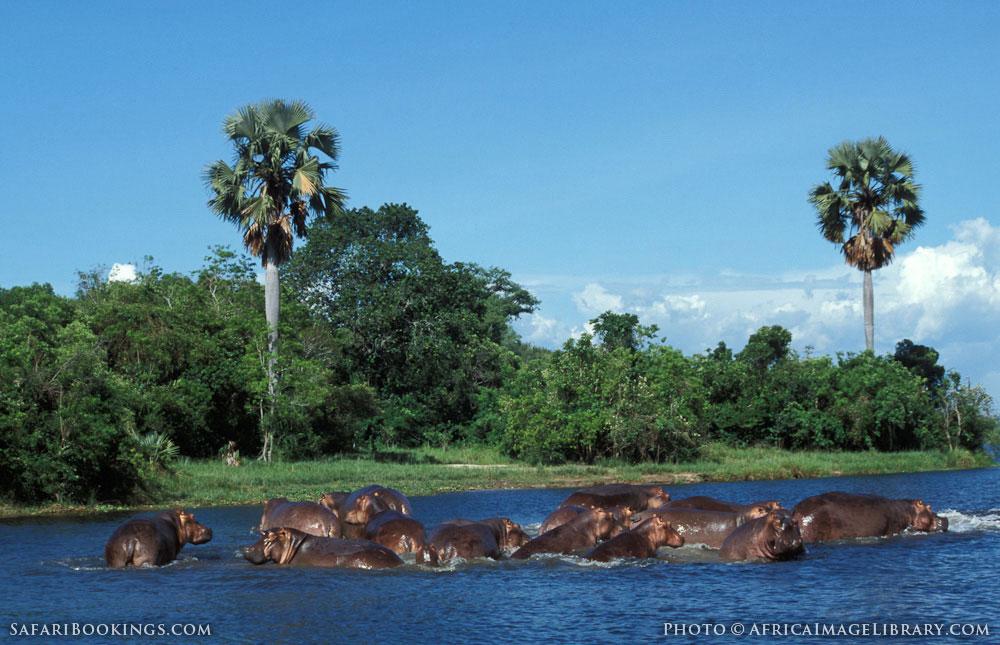 Hippos in the Victoria Nile below Murchison Falls in Murchison Falls National Park, Uganda