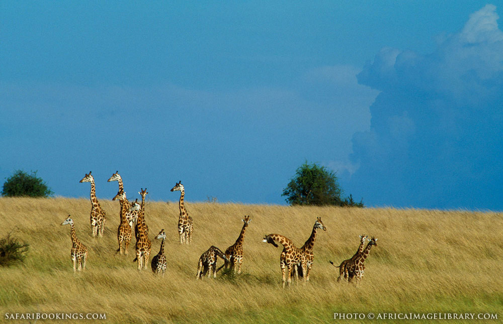Rothschild's giraffe in a field with a clear blue sky in Murchison Falls National Park, Uganda