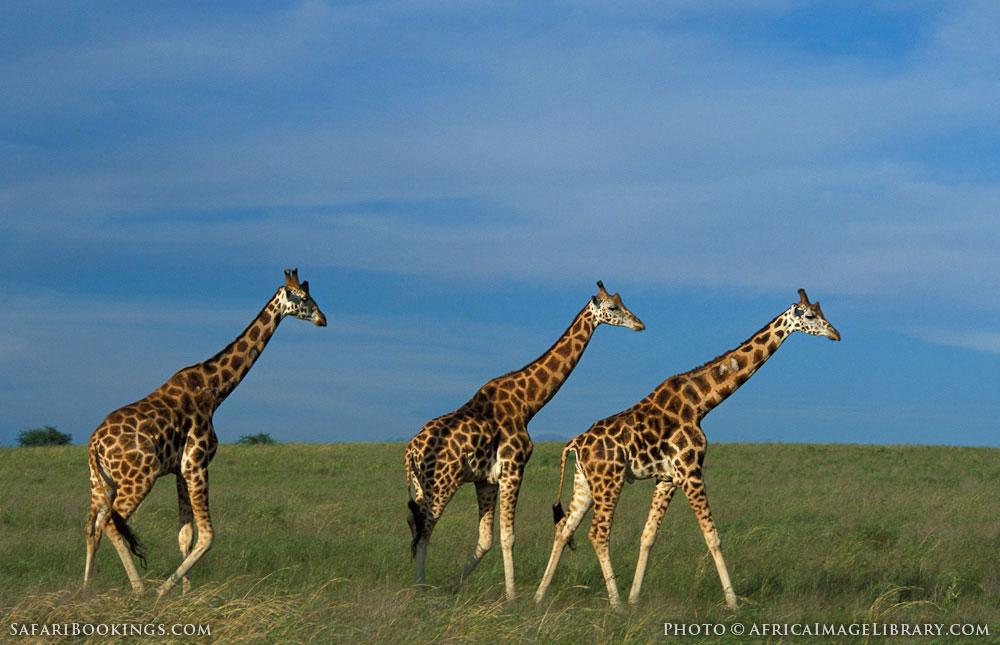 Rothschild's giraffe on a beautiful clear day in Murchison Falls National Park, Uganda