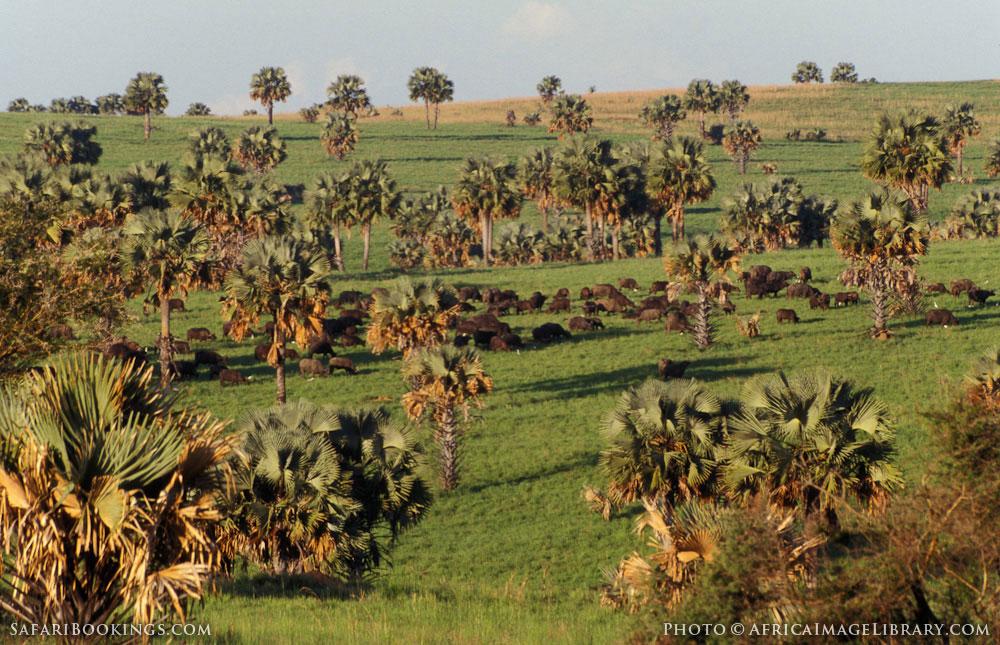 Herd of buffalo between the borassus palms in Murchison Falls National Park, Uganda