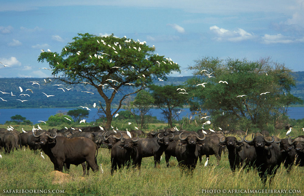Herd of buffalo with cattle egrets at the Nile River in Murchison Falls National Park, Uganda