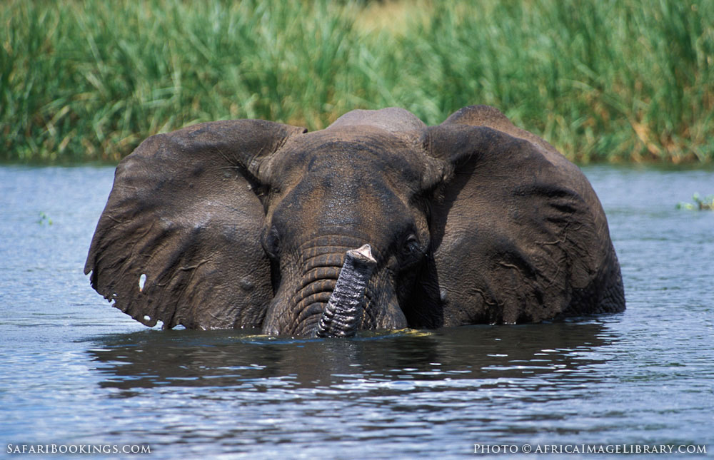 African elephant bathing in the Nile in Murchison Falls National Park, Uganda