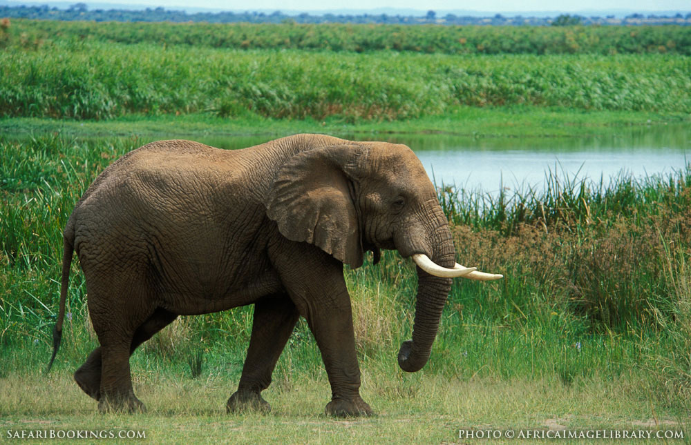African elephant at the Nile River in Murchison Falls National Park, Uganda