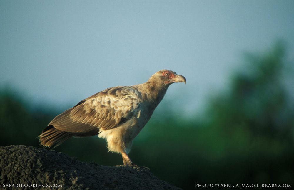 Palm-nut vulture in Queen Elizabeth National Park, Uganda