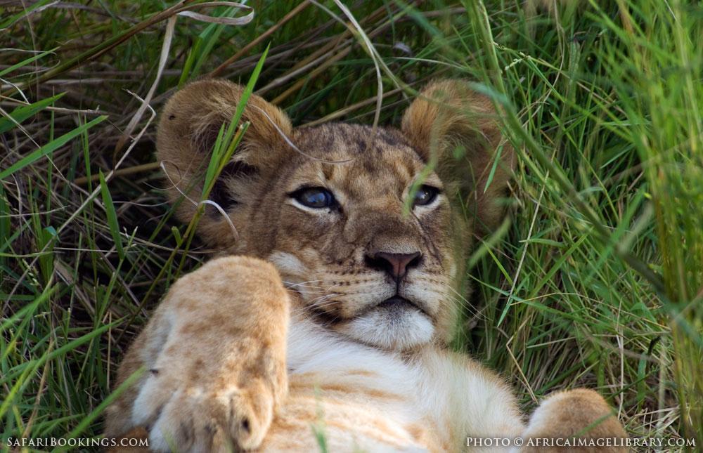 Baby lion in the grass in Queen Elizabeth National Park, Uganda