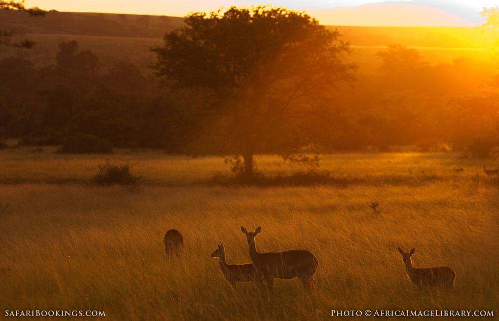 Ugandan kob at sunset in Queen Elizabeth National Park, Uganda