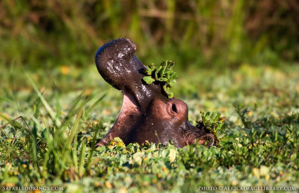 Common hippopotamus yawning in Lake Edward in Queen Elizabeth National Park, Uganda