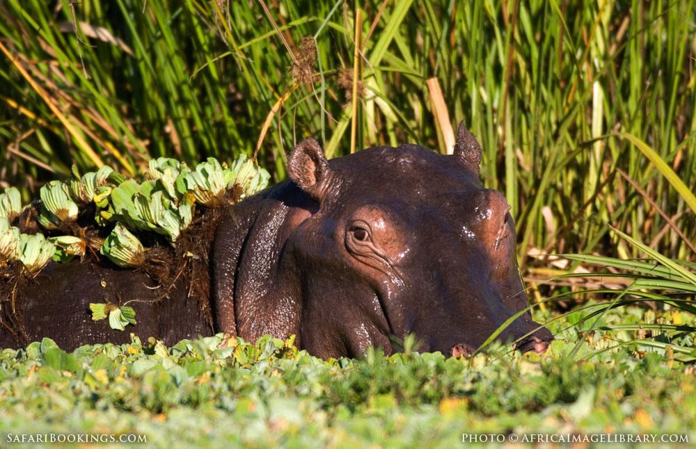 Common hippopotamus in Lake Edward in Queen Elizabeth National Park, Uganda