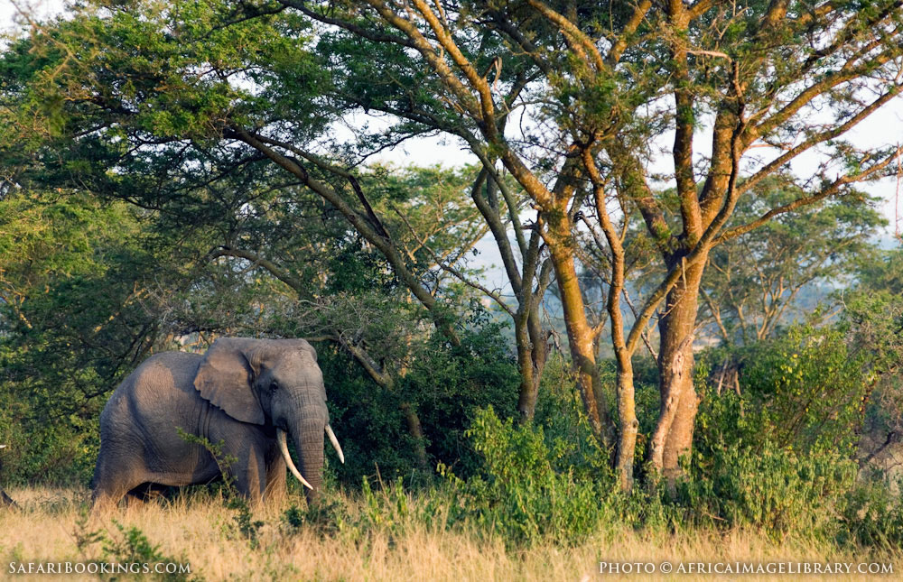 African elephant in the Ishasha sector in Queen Elizabeth National Park, Uganda